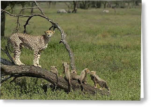 Cheetah  Acinonyx jubatus Greeting Card by Carol Gregory