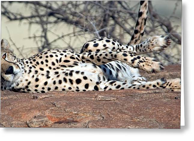 Fangs Greeting Cards - Cheetah Acinonyx Jubatus Resting Greeting Card by Panoramic Images