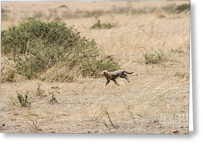 Cheetah Running Greeting Cards - Cheetah Cub Released Into The Wild Greeting Card by Gregory G. Dimijian, M.D.