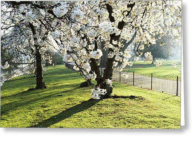 Cherry Blossom In St. Jamess Park, City Greeting Card by Panoramic Images
