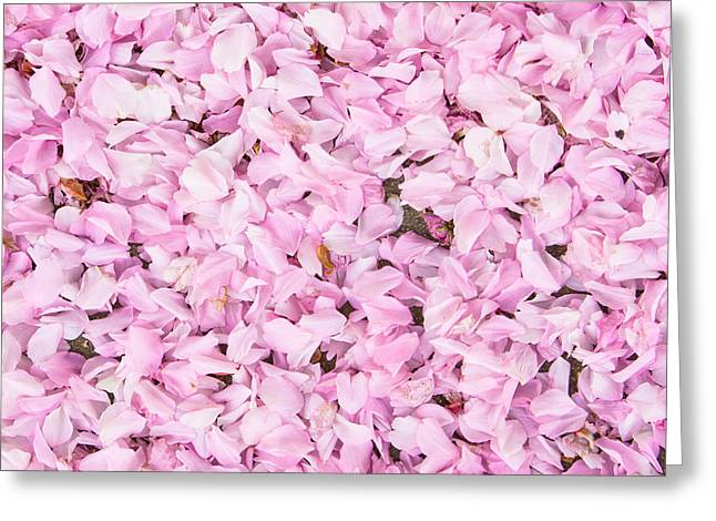Pink Flower Branch Greeting Cards - Cherry blossom Greeting Card by Tom Gowanlock