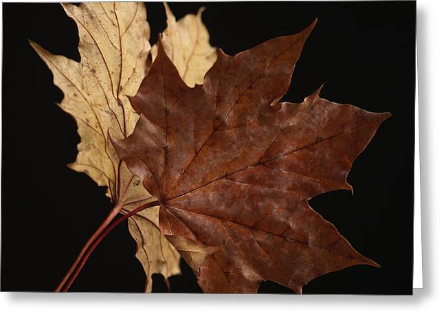 Close In Greeting Cards - Chestnut leaf Greeting Card by Bernard Jaubert