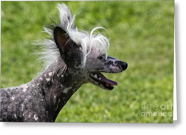 Face In Profile Greeting Cards - Chinese Crested Dog Greeting Card by M. Watson
