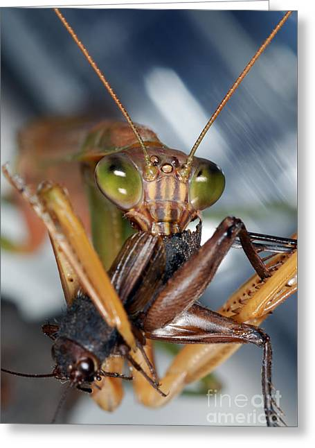 Mantid Greeting Cards - Chinese Mantid Eating A Cricket Greeting Card by Scott Camazine
