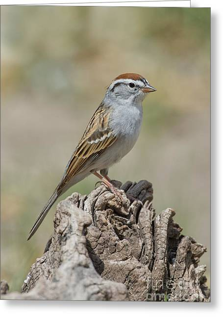 Chipping Sparrow Greeting Cards - Chipping Sparrow Greeting Card by Anthony Mercieca