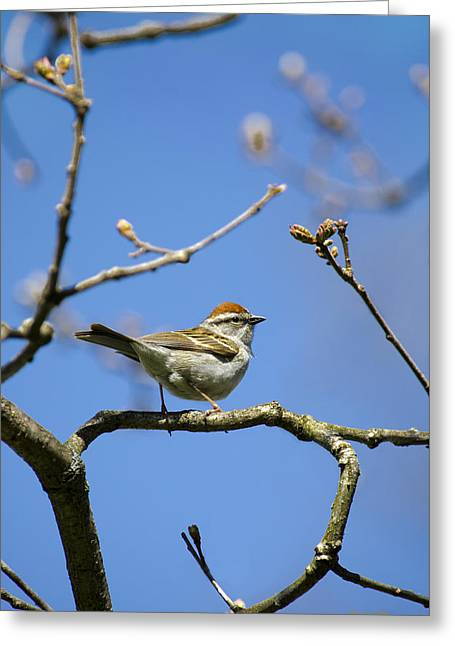 Chipping Sparrow Greeting Cards - Chipping Sparrow Perched in a Tree Greeting Card by Christina Rollo