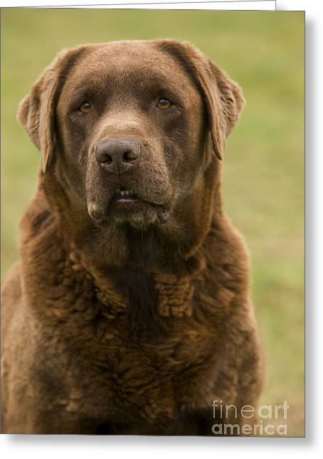 Chocolate Lab Greeting Cards - Chocolate Labrador Dog Greeting Card by Jean-Michel Labat