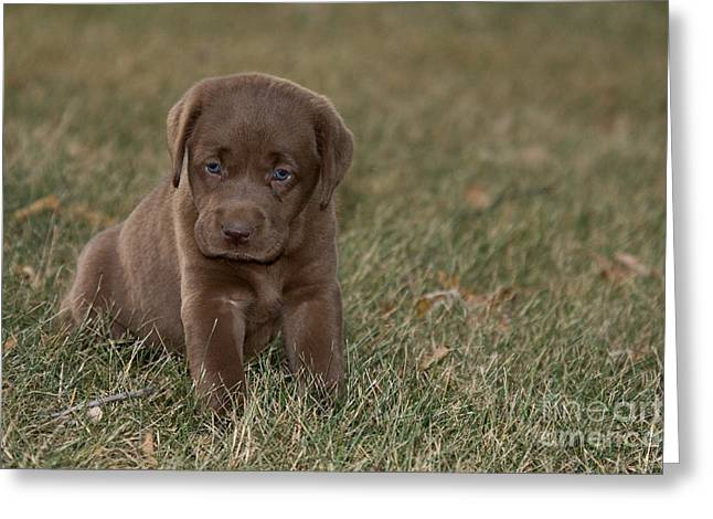 Chocolate Labrador Puppy Greeting Card by Linda Freshwaters Arndt