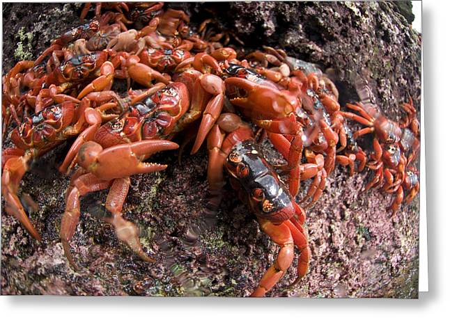 Cliffs Over Ocean Greeting Cards - Christmas Island Red Crab Migation Greeting Card by Colin Marshall