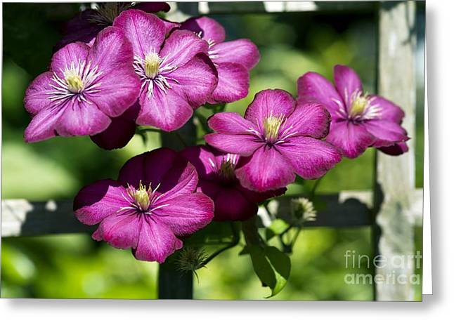 Trellis Greeting Cards - Clematis Clematis Sp Greeting Card by Dr. Keith Wheeler