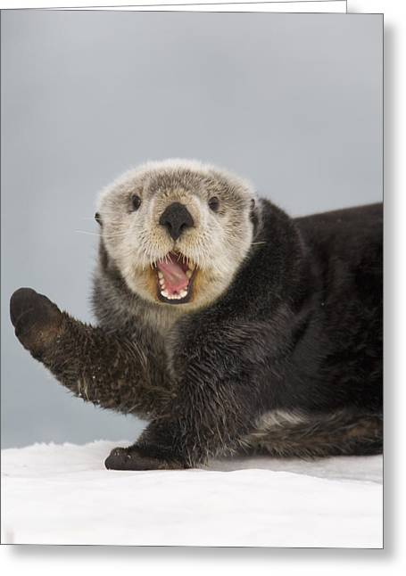 Cold Day Greeting Cards - Close Up A Sea Otter In Prince William Greeting Card by Milo Burcham