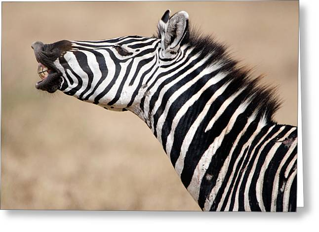 Zebra Face Greeting Cards - Close-up Of A Burchells Zebra Equus Greeting Card by Panoramic Images