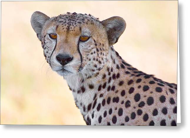 Snout Greeting Cards - Close-up Of A Cheetah, Ngorongoro Greeting Card by Panoramic Images