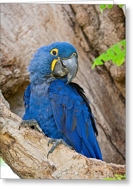 Wild Parrots Greeting Cards - Close-up Of A Hyacinth Macaw Greeting Card by Panoramic Images