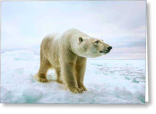 Close Up Of A Standing Polar Bear Greeting Card by Peter J. Raymond
