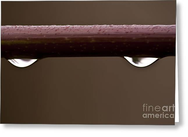 Beads Of Water Greeting Cards - Close-up of water droplet on maple limb Greeting Card by Jim Corwin
