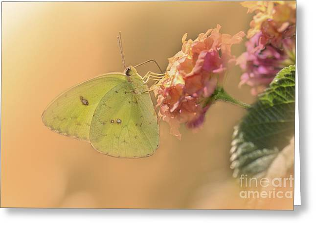 Feeding Digital Greeting Cards - Clouded Sulphur Butterfly Greeting Card by Betty LaRue