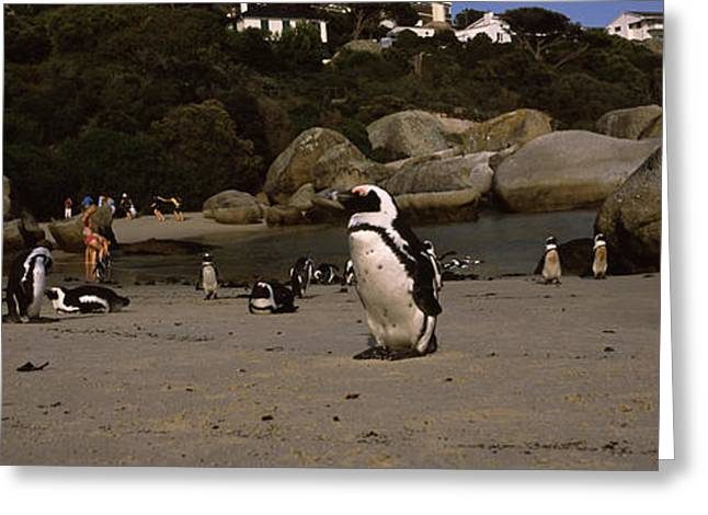 Groups Of Animals Greeting Cards - Colony Of Jackass Penguins Spheniscus Greeting Card by Panoramic Images