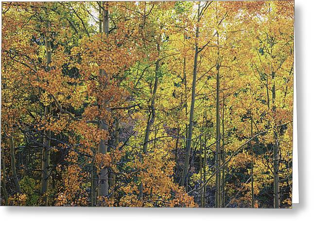 Color Change Greeting Cards - Colorful Changing Aspens - Divide Colorado Greeting Card by Brian Harig