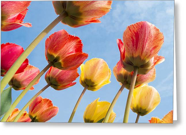 Green Day Greeting Cards - Colorful Tulips Greeting Card by Hans Engbers