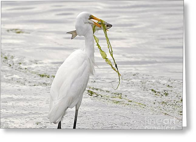 Great White Egret Greeting Cards - Colossal Catch Greeting Card by Al Powell Photography USA