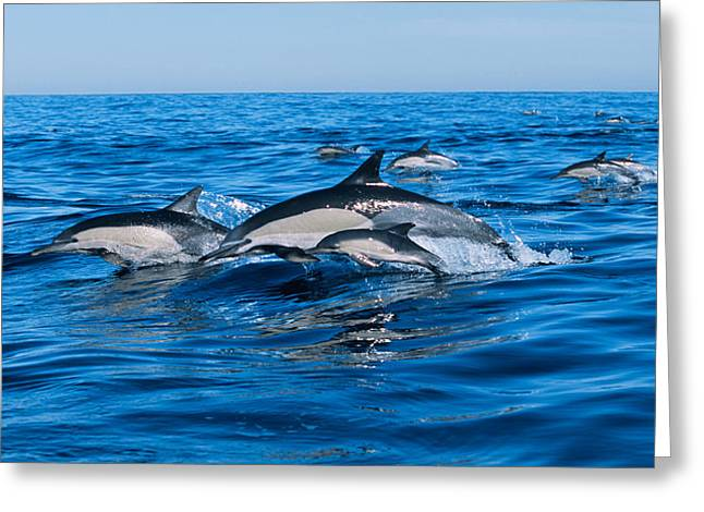 Breaching Greeting Cards - Common Dolphins Breaching In The Sea Greeting Card by Panoramic Images