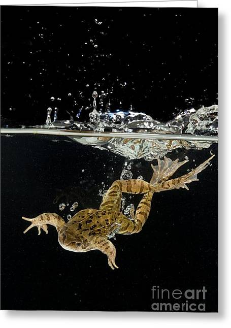 Brown Frog Greeting Cards - Common Frog Landing In Water Greeting Card by Simon Booth