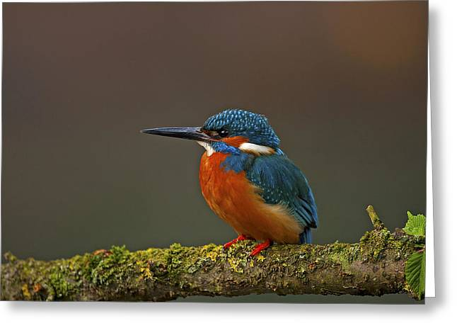 Scoullar Greeting Cards - Common Kingfisher Greeting Card by Paul Scoullar