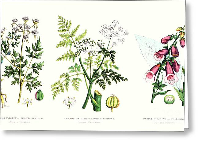 Toxin Greeting Cards - Common Poisonous Plants Greeting Card by English School
