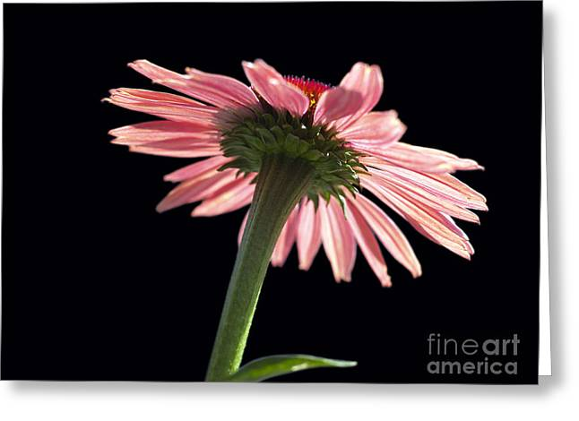 Genus Greeting Cards - Coneflower Greeting Card by Tony Cordoza