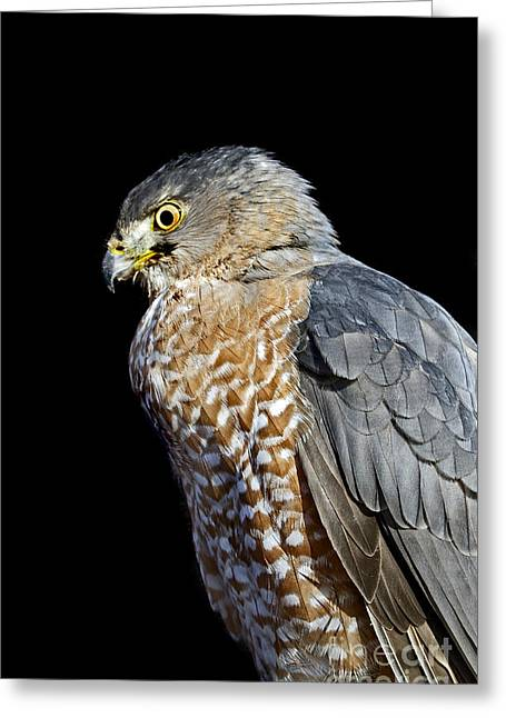 Photos Of Birds Greeting Cards - Coopers Hawk Greeting Card by Skip Willits