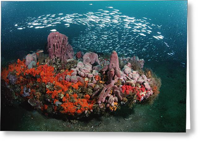 Photos Of Coral Greeting Cards - Coral And Schooling Fish Grays Reef Nms Greeting Card by Flip Nicklin