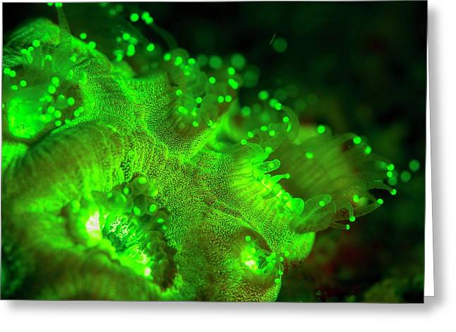 Coral Polyps Fluorescing Green Greeting Card by Louise Murray