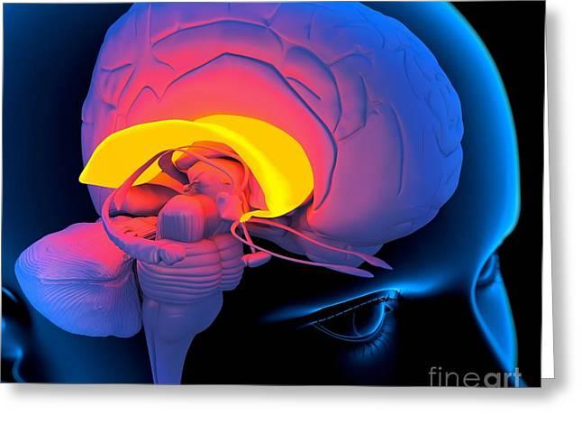 Corpus Callosum Greeting Cards - Corpus Callosum In The Brain, Artwork Greeting Card by Roger Harris