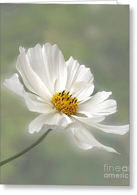 In Depth Greeting Cards - Cosmos Flower in White Greeting Card by Kaye Menner