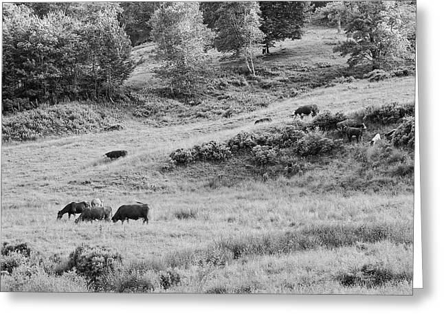 Maine Farms Digital Greeting Cards - Cows Grazing In Field Rockport Maine Greeting Card by Keith Webber Jr