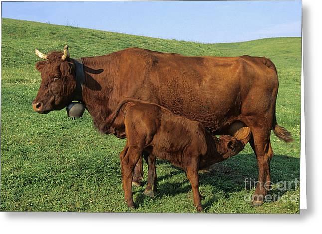 Cows salers Greeting Card by BERNARD JAUBERT