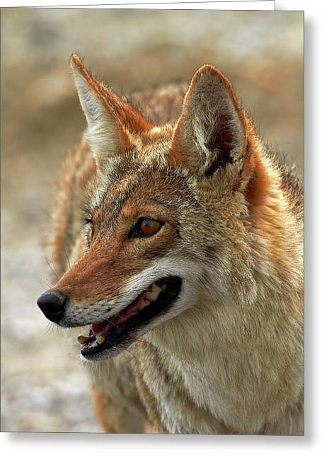 Coyote (canis Latrans Greeting Card by David Wall