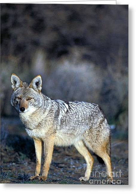 C. Latrans Greeting Cards - Coyote Greeting Card by Mark Newman
