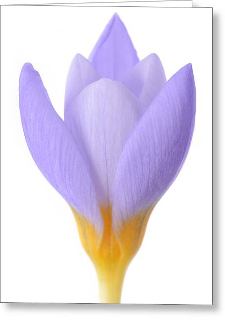 Crocus Greeting Card by Mark Johnson