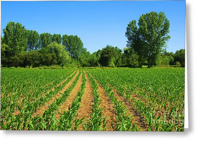 Corn Seeds Greeting Cards - Cultivated Land Greeting Card by Carlos Caetano