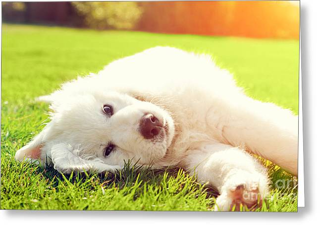 Puppies Photographs Greeting Cards - Cute white puppy dog lying on grass Greeting Card by Michal Bednarek
