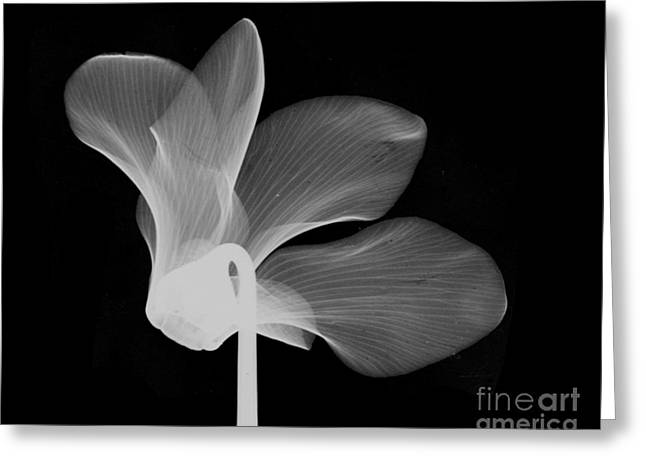 Cyclamen Flower X-ray Greeting Card by Bert Myers