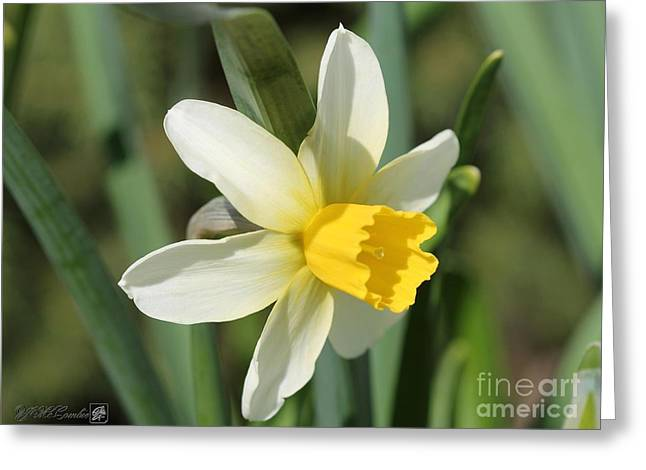 Cyclamineus Daffodil Named Jack Snipe Greeting Card by J McCombie