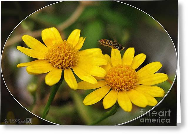 Mccombie Greeting Cards - Dahlberg Daisy named Gold Carpet Greeting Card by J McCombie