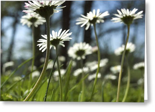 Close Up Photography Greeting Cards - Daisies Greeting Card by Bernard Jaubert