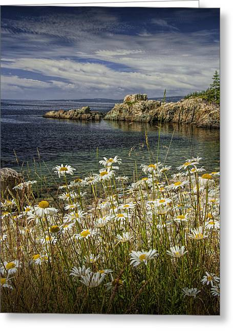 Daisies On Maine's Acadia Shoreline Greeting Card by Randall Nyhof