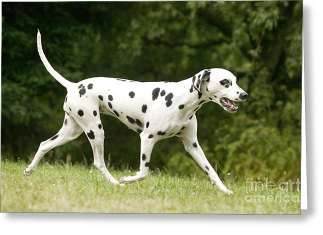Dog Trots Greeting Cards - Dalmatian Dog Greeting Card by Jean-Michel Labat
