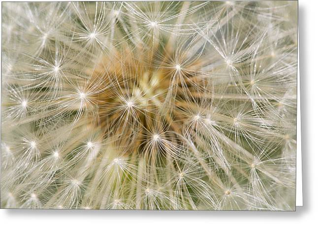 Dandelion Seedhead Noord-holland Greeting Card by Mart Smit