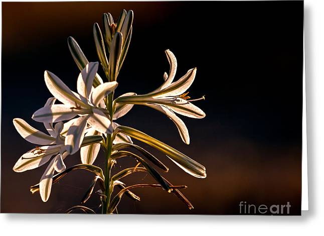 Haybales Greeting Cards - Desert Easter Lily Greeting Card by Robert Bales